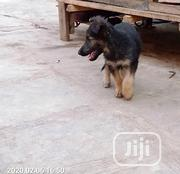 Young Male Purebred German Shepherd Dog | Dogs & Puppies for sale in Oyo State, Ona-Ara