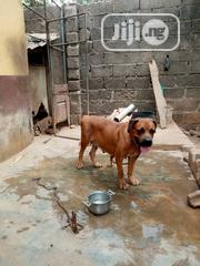 Adult Female Purebred Boerboel   Dogs & Puppies for sale in Lagos State, Ipaja