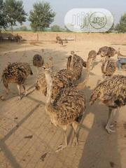 Ostrich Birds For Sale | Birds for sale in Kano State, Dala