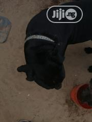 Young Male Purebred Boerboel   Dogs & Puppies for sale in Lagos State, Ajah