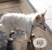 Young Male Purebred American Eskimo Dog | Dogs & Puppies for sale in Oyo State, Ido