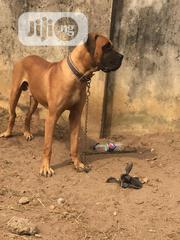 Young Male Purebred Boerboel   Dogs & Puppies for sale in Lagos State, Lagos Island