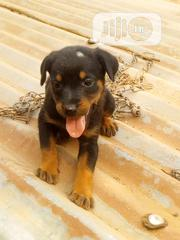 Baby Male Mixed Breed Rottweiler | Dogs & Puppies for sale in Anambra State, Ekwusigo