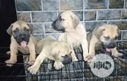 Baby Female Purebred Boerboel | Dogs & Puppies for sale in Ogun State, Abeokuta South