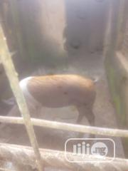 Pigs For Sale | Livestock & Poultry for sale in Plateau State, Jos