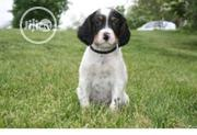 Baby Male Mixed Breed English Setter | Dogs & Puppies for sale in Osun State, Osogbo