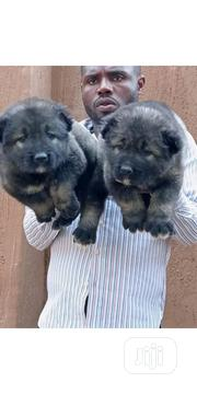 Senior Female Purebred Caucasian Shepherd Dog | Dogs & Puppies for sale in Osun State, Osogbo