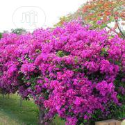 Bougainnvillea Flower Seedlings | Feeds, Supplements & Seeds for sale in Plateau State, Jos
