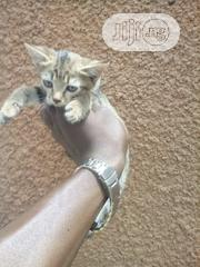 Baby Female Mixed Breed American Shorthair | Cats & Kittens for sale in Abuja (FCT) State, Gwagwalada