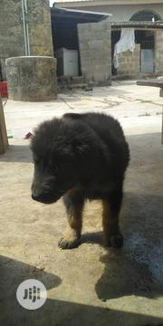 Baby Female Purebred Caucasian Shepherd Dog | Dogs & Puppies for sale in Osun State, Osogbo