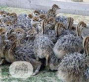 One To Two Weeks Ostrich Birds Available | Birds for sale in Kaduna State, Jaba