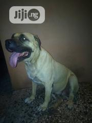 Adult Female Purebred Boerboel   Dogs & Puppies for sale in Lagos State, Amuwo-Odofin
