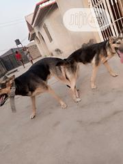 Adult Male Purebred German Shepherd Dog | Dogs & Puppies for sale in Oyo State, Ido