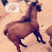 Goat Farm Services   Livestock & Poultry for sale in Oyo State, Ogbomosho North