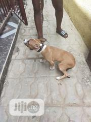 Senior Male Purebred American Pit Bull Terrier | Dogs & Puppies for sale in Oyo State, Ibadan