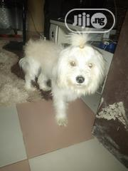 Adult Female Purebred Lhasa Apso | Dogs & Puppies for sale in Delta State, Ethiope West