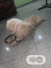 Young Male Purebred Lhasa Apso   Dogs & Puppies for sale in Lagos State, Lagos Island