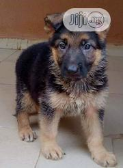 Baby Female Purebred German Shepherd Dog | Dogs & Puppies for sale in Rivers State, Port-Harcourt