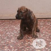 Young Male Purebred Boerboel | Dogs & Puppies for sale in Ogun State, Sagamu