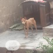 Young Male Mixed Breed Mongrel (No Breed) | Dogs & Puppies for sale in Ogun State, Abeokuta South