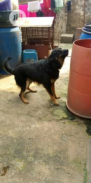 Adult Male Purebred German Shepherd Dog | Pet Services for sale in Lagos State, Mushin