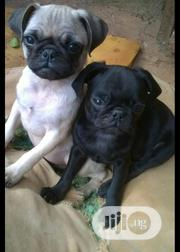 Baby Female Purebred Pug | Dogs & Puppies for sale in Lagos State, Ikeja