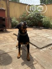 Adult Male Purebred Rottweiler | Dogs & Puppies for sale in Ogun State, Ijebu Ode