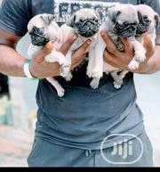 Baby Female Purebred Pug | Dogs & Puppies for sale in Lagos State, Maryland