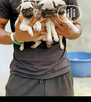 Baby Female Purebred Pug | Dogs & Puppies for sale in Lagos State, Ojota