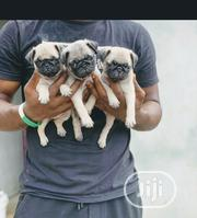 Baby Female Purebred Pug | Dogs & Puppies for sale in Lagos State, Oshodi-Isolo