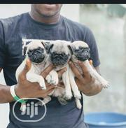 Baby Female Purebred Pug | Dogs & Puppies for sale in Lagos State, Shomolu