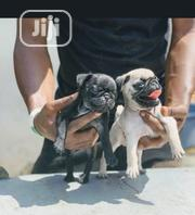 Baby Male Purebred Pug | Dogs & Puppies for sale in Lagos State, Surulere