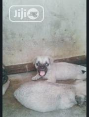 Baby Female Purebred Pug | Dogs & Puppies for sale in Lagos State, Gbagada