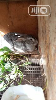 Rabbits, Different Breeds, Newzealand, Hylaquine, Dutch, Angora, | Livestock & Poultry for sale in Lagos State