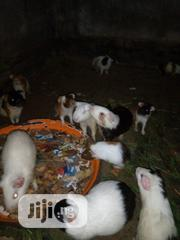 Fresh Young Guinea-pigs | Other Animals for sale in Lagos State, Lagos Mainland