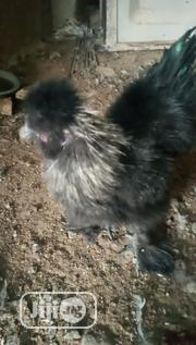 Silky Chiken   Livestock & Poultry for sale in Kano State, Fagge