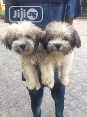 Young Female Purebred Lhasa Apso | Dogs & Puppies for sale in Lagos State, Lekki Phase 1