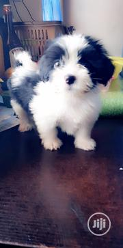 Baby Male Mixed Breed Lhasa Apso | Dogs & Puppies for sale in Abuja (FCT) State, Jabi