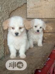 Baby Male Purebred Lhasa Apso | Dogs & Puppies for sale in Abuja (FCT) State, Asokoro