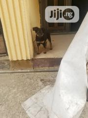 Young Female Purebred Rottweiler | Dogs & Puppies for sale in Lagos State, Ajah