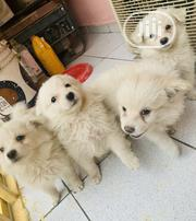 Baby Male Purebred Samoyed | Dogs & Puppies for sale in Abuja (FCT) State, Jabi