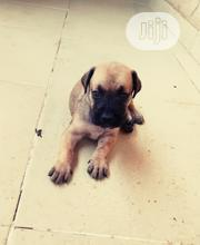 Baby Female Purebred Boerboel | Dogs & Puppies for sale in Ogun State, Obafemi-Owode