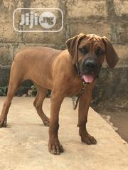 Young Female Purebred Boerboel | Dogs & Puppies for sale in Oyo State, Ido