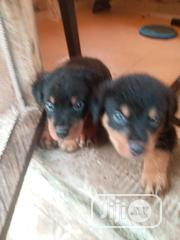 Baby Female Purebred Rottweiler | Dogs & Puppies for sale in Lagos State, Ikeja