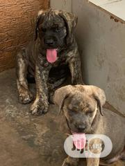 Baby Male Purebred Boerboel   Dogs & Puppies for sale in Lagos State, Ipaja