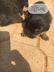 Baby Female Purebred Rottweiler | Dogs & Puppies for sale in Ogun State, Ado-Odo/Ota