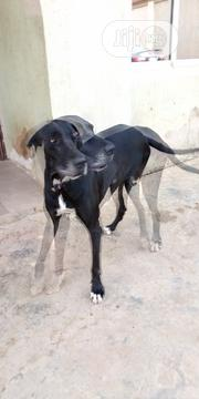 Young Male Purebred Great Dane | Dogs & Puppies for sale in Lagos State, Ikorodu