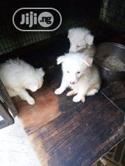 Baby Male Purebred Chow Chow | Dogs & Puppies for sale in Ondo State, Akure