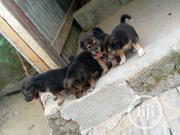 Baby Female Mixed Breed German Shepherd Dog | Dogs & Puppies for sale in Bayelsa State, Yenagoa
