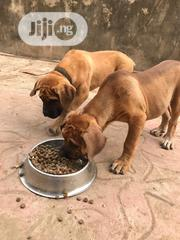 Young Male Purebred Boerboel | Dogs & Puppies for sale in Lagos State, Ifako-Ijaiye